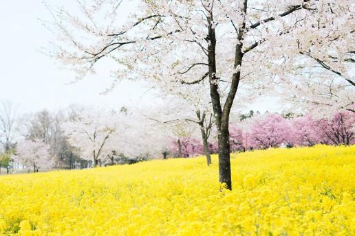 Akagi south Senbonzakura - Photo by TOMOKO UJI