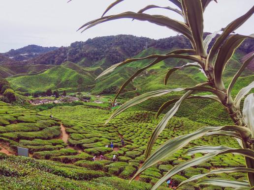 Bharat Tea Fields - Photo by Farhan Azam