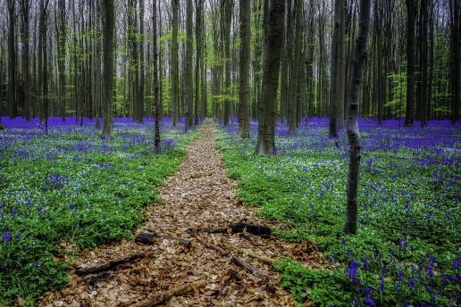 Hallerbos Forest - Photo by Jos Poelmans