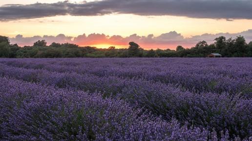 Mayfield Lavender Farm - Photo by David Pearson