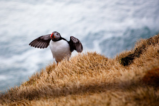 Puffin Lookout - Photo by D Tan