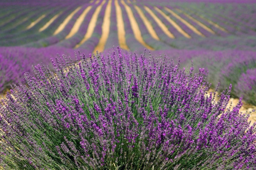Red Hill Lavender Farm - Photo by No-longer-here