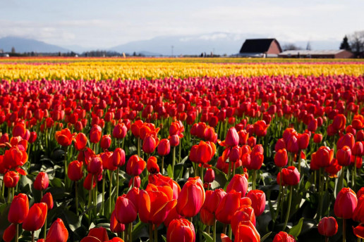Tulip Town - Photo by Jonathan Miske