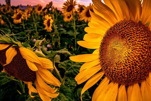 Cumberland Sunflower Field by Lana