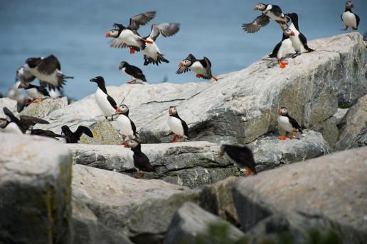 Machias Seal Island by Ray Hennessy
