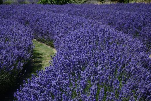 Purple Haze Lavender Farm - Photo by Michael
