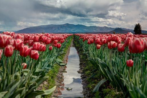 Tulip Field Lookout by Zach Taiji